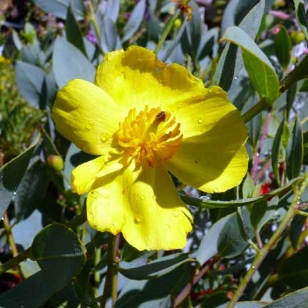 dendromecon_harfordii_island_bush_poppy