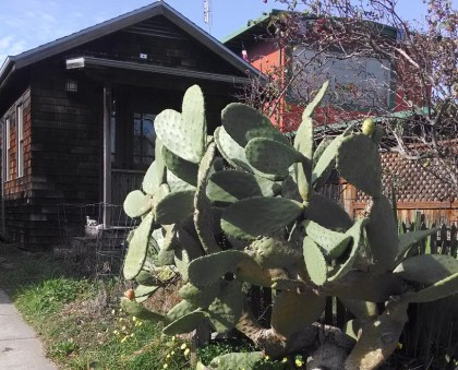 opuntia stannage ave