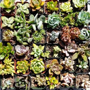 2 inch Succulents